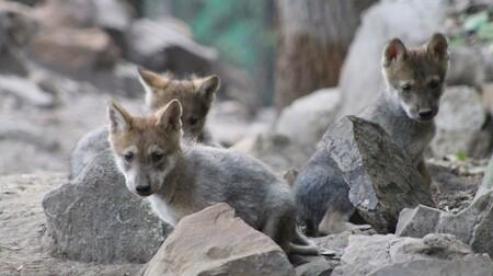 Cinco Crias Lobo Gris Mexicano Puedes Ayudar Elegir Nombre