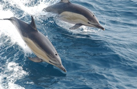 Common Dolphins 914548 1280