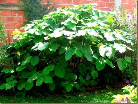 Arbusto Hojasanta