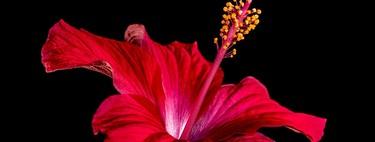 Razones saludables por las que la flor de jamaica no debería faltar en tu dieta