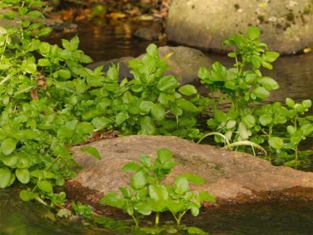 El mastuerzo, un vegetal ideal para nuestra salud