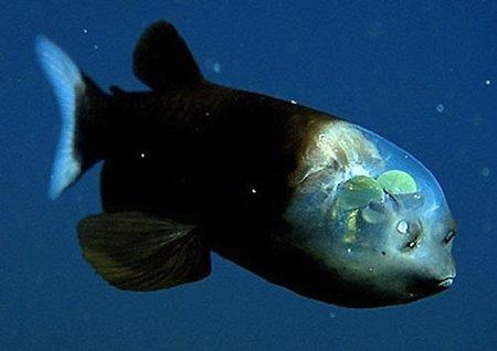 Algunas criaturas que podr amos encontrar en la fosa de for Pozos para peces