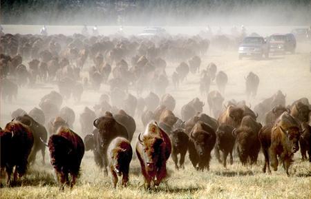 Arreo de bisontes en Dakota del Sur