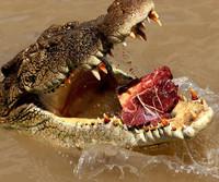 Los cocodrilos saltarines de Australia