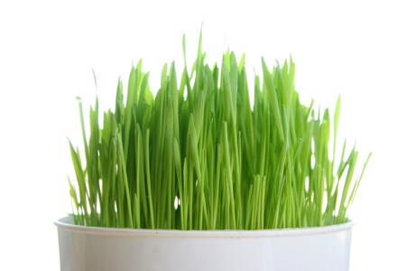 ¿Porqué consumir Wheatgrass?