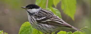 Un ave de 17 gramos recorriendo 2.770 kilómetros por mar abierto: la reinita estriada