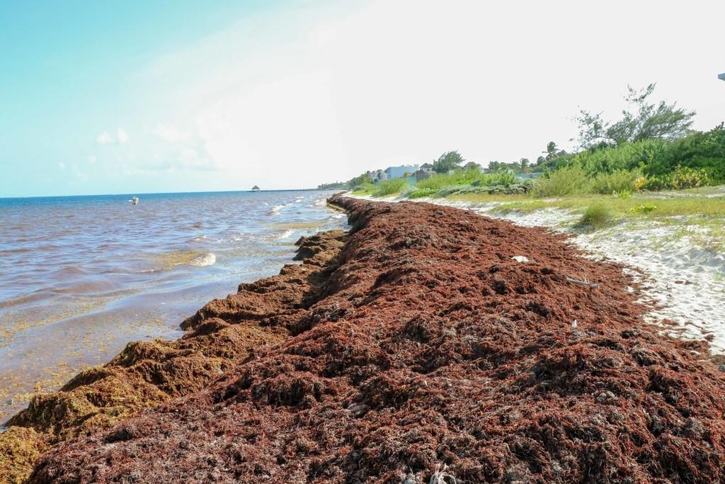 Una selva de 8.850 kilómetros y 20 millones de toneladas en pleno Atlántico: el sargazo devora un océano borracho de fertilizantes