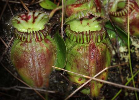 ¿Cómo consiguen algunas plantas ser carnívoras?