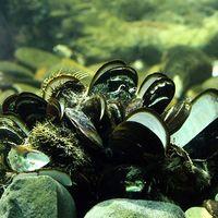 Las ostras abren y cierran sus caparazones sincronizadas con las fases de la Luna
