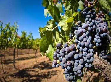 Las uvas tintas que se cultivan en España