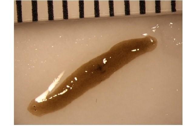 Estos gusanos estuvieron en el espacio y ahora se regeneran con dos cabezas