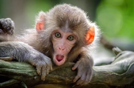 Estos científicos chinos han creado once monos con genes humanos para hacerlos más inteligentes