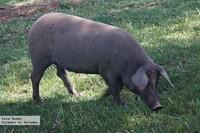 Visita a Jerez de los Caballeros. El cerdo ibérico de la dehesa a la mesa