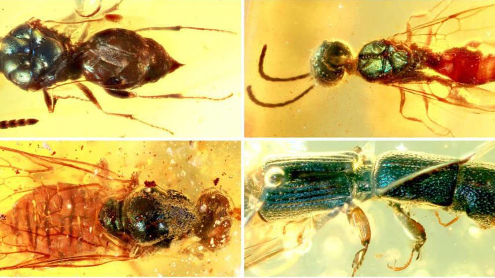 Insectos de hace 99 millones de años conservan todo su color gracias al ámbar