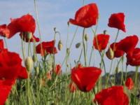 Beneficios de las semillas de amapola