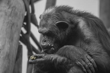 Los chimpancés parecen recordar mejor las cosas que los seres humanos, al menos a corto plazo