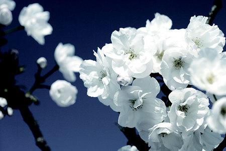Flor de cerezo japones