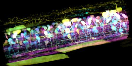 Así se mueve una célula inmune por el oído interno de un pez cebra: la imagen microscópica que llevamos 350 años buscando