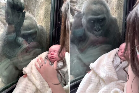 El vídeo viral que muestra el emotivo gesto de una mamá gorila al ver un bebé a través del cristal del zoo