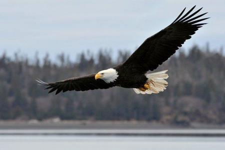 Avistamiento de águilas en Estados Unidos