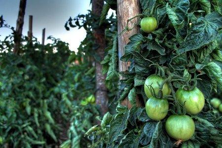 Qué tomate usar para hacer Gazpacho