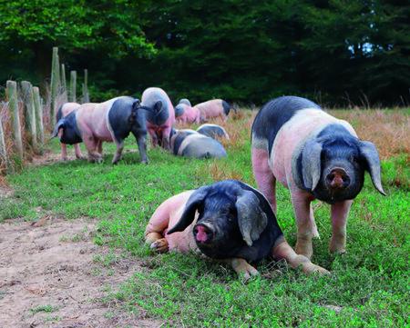 Euskal txerri: así el cerdo vasco salvado de la extinción con el que se producen los embutidos que se rifan los estrella Michelin