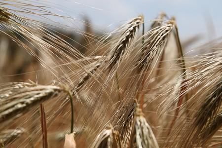 Wheat 809441 1280