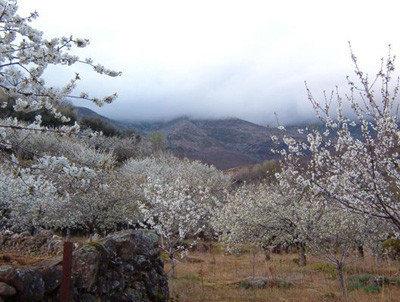 Valle del Jerte, la floración de los cerezos