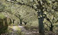 Valle del Jerte: las poblaciones a visitar para ver la floración del cerezo