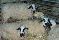 ¿Peligra la oveja churra?