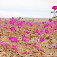 """La lluvia en Atacama es una maravilla: así es el increíble fenómeno del """"desierto florido"""""""
