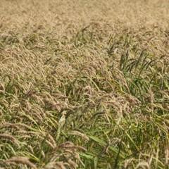 Foto 14 de 14 de la galería la-produccion-de-los-cereales-con-base-de-arroz en Vitónica