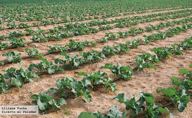 Plantas de brócoli a medio crecer
