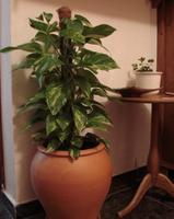 Plantas de interior: Potos