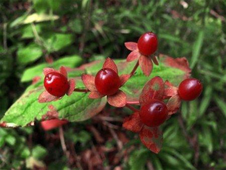 El arándano rojo, la mejor manera de prevenir la cistitis