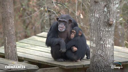 Santuario De Chimpances Disney