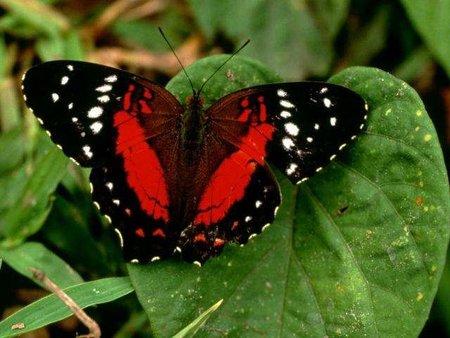 Singularidades extraordinarias de animales ordinarios (XXXV): la mariposa