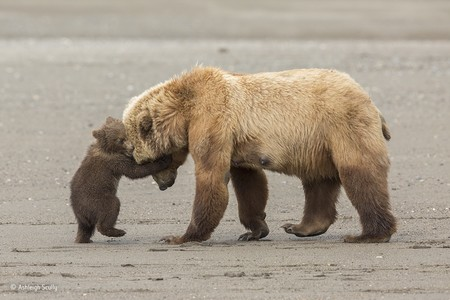 Bear Hug C Ashleigh Scully Wildlife Photographer Of The Year