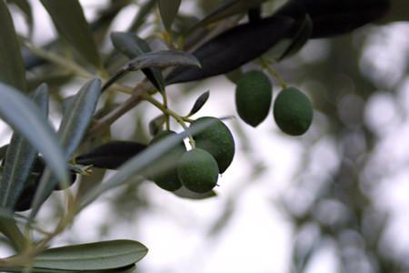 El efecto de la crisis griega sobre la producción de aceite de oliva