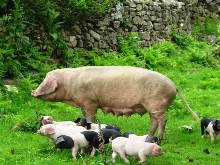 Cerdo Celta