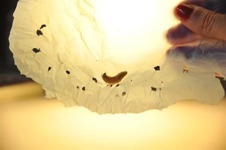 Esta oruga puede degradar el plástico contaminante de una bolsa