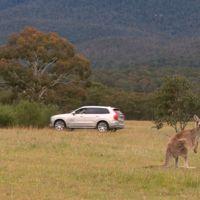 Mientras tú utilizas el detector de peatones, en Australia los Volvo llevarán detector de canguros