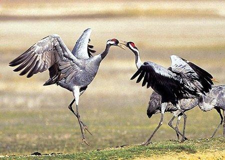 Singularidades extraordinarias de animales ordinarios (XXIV): la grulla
