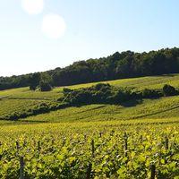 Gracias al calentamiento global, la industria vinícola está despegando en Escandinavia