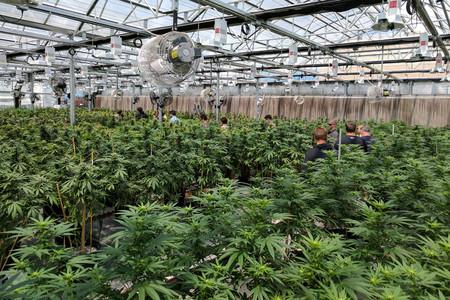 El boom de la marihuana llega a España: qué implica el aterrizaje de Canopy Growth en Alicante