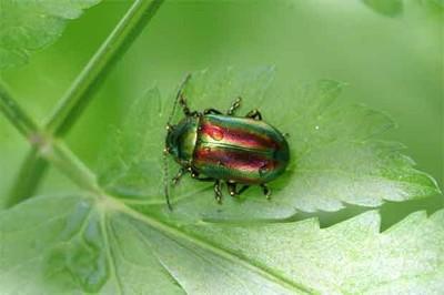 Cinco productos creados gracias a los insectos: cerebro de cucaracha antibiótico, rojo cochinilla, agallas de avispas...
