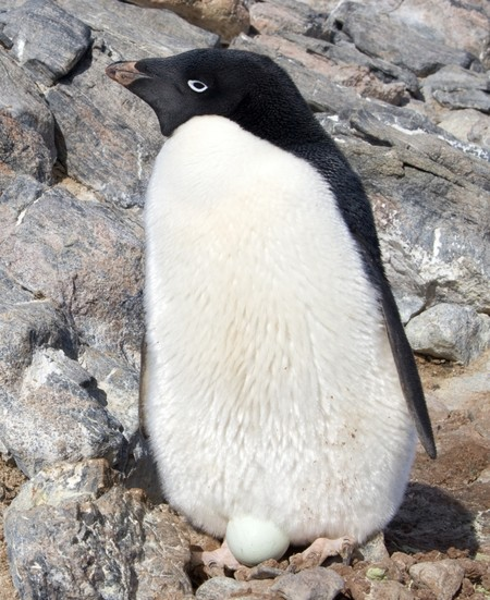 Manchot Adelie Adelie Penguin