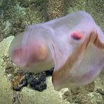 Se logra filmar en vídeo en el Pacífico una de las medusas más extrañas que conocemos