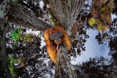 Esta curiosa foto de un orangután trepando es la mejor de naturaleza del año según el certamen Nature TTL Photographer of the Year 2021