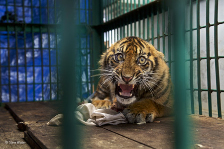 Saved But Caged C Steve Winter Wildlife Photographer Of The Year